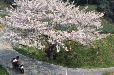 Sakura_f650