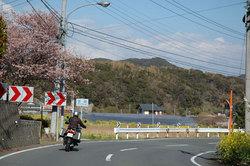 nishi_izu_sakura