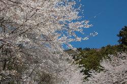 Sakura_shimada001