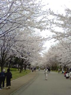千葉県は桜満開