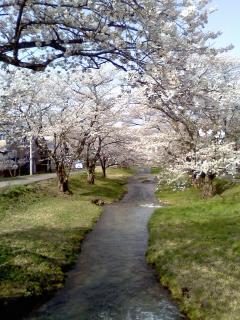 猪苗代、観音寺川沿いの桜